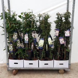 Evergreen mix 4 varieties