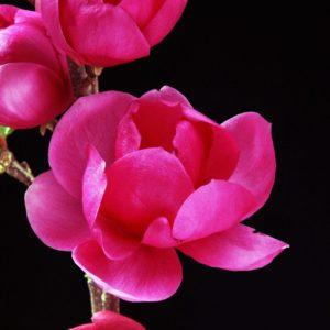 Magnolia Cleopatra (1)