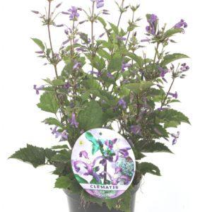 Purple Princess  op pot